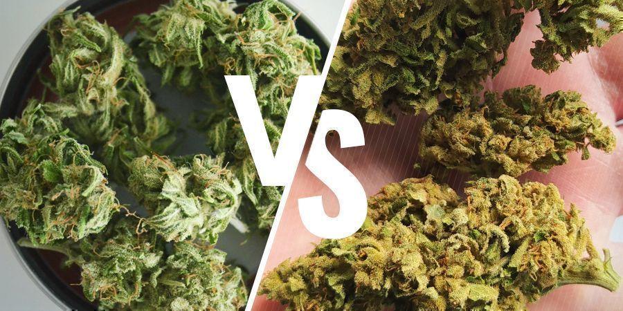 Comparación Entre El Cannabis De Interior Y Exterior: Color
