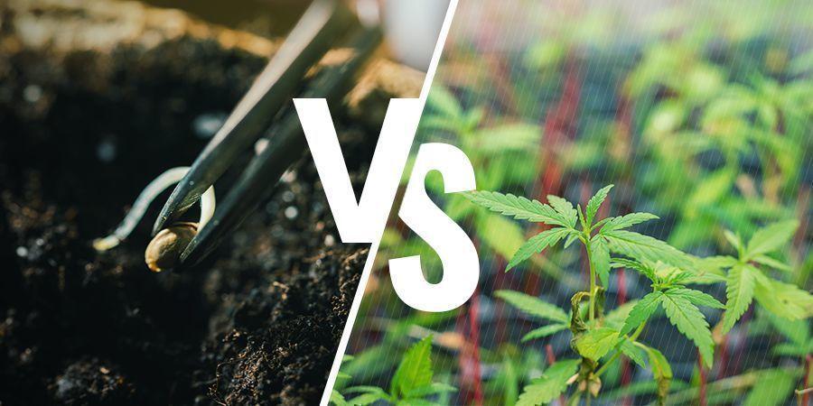 ¿Qué Importancia Tiene Cultivar Marihuana A Partir De Semillas O Esquejes?
