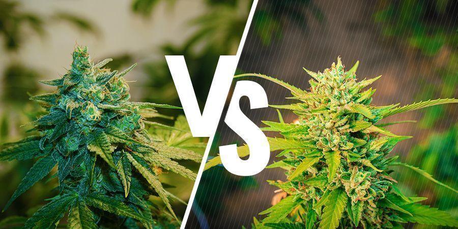 Comparación Entre El Cannabis De Interior Y Exterior