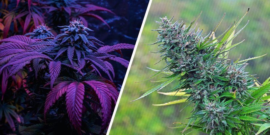 ¿Qué Tiene Mayor Calidad, La Marihuana De Interior O De Exterior?