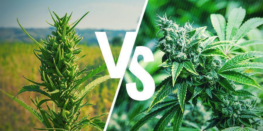 Apariencia Cannabis