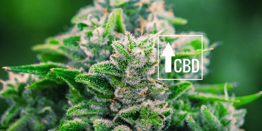 Cannabis Ruderalis: HA CAMBIADO EL MERCADO