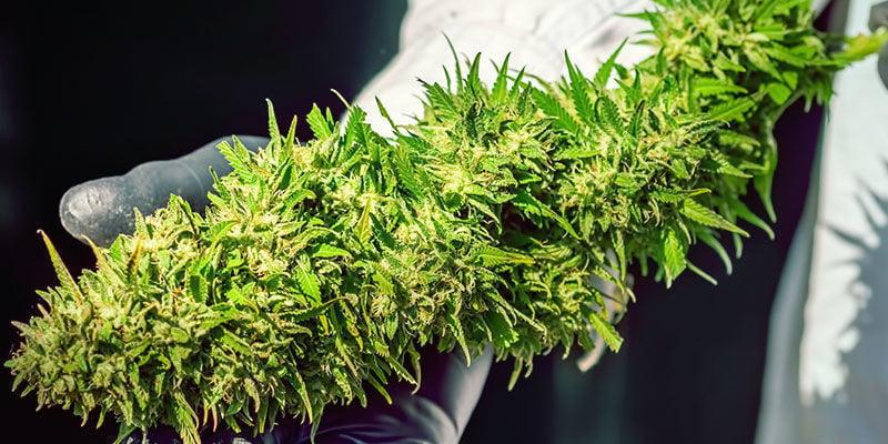 Características Marihuana Skunk #1