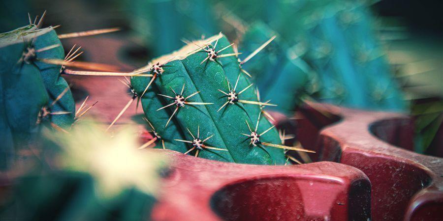 Cómo Conseguir La Antorcha Boliviana (Echinopsis Lageniformis)