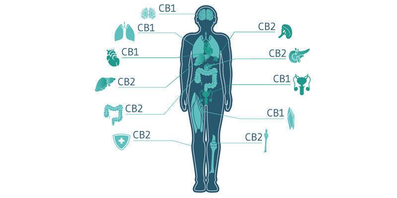 ¿Realmente Funcionan Los Productos De Cannabis De Uso Tópico?