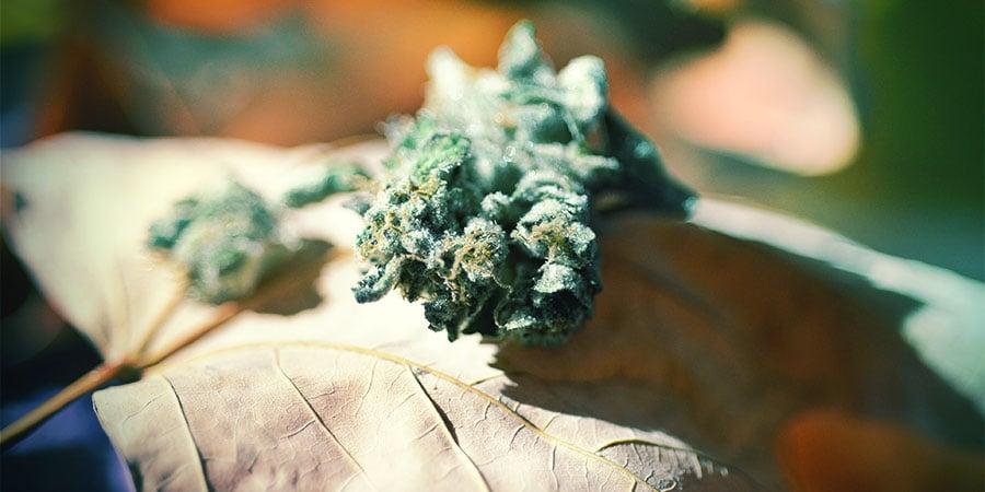 Floración Cannabis