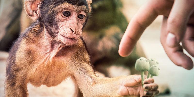 La Teoría Del Mono Dopado Podría Explicar Nuestra Evolución