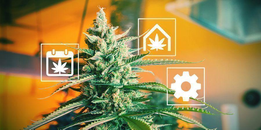 Consejos Para Cultivar Cannabis En El Reino Unido