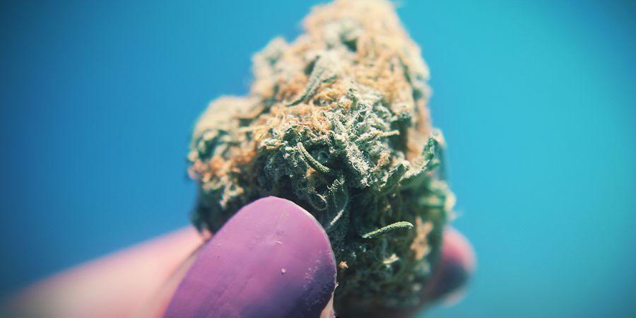Cannabis Cuanto Más Pegajosa, Mejor