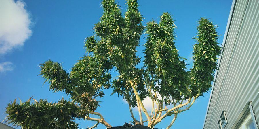 Las Mejores Variedades Ricas En CBD Para Cultivar En Exterior
