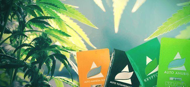 Pyramid Seeds: Cepas De Cannabis Híbridas Verdaderamente Únicas