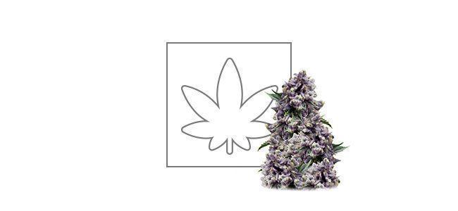 Purple (Pyramid Seeds) feminizada
