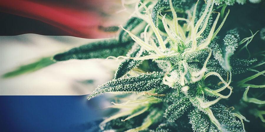 Las Mejores Cepas De Cannabis Para Cultivar En Exterior En Holanda