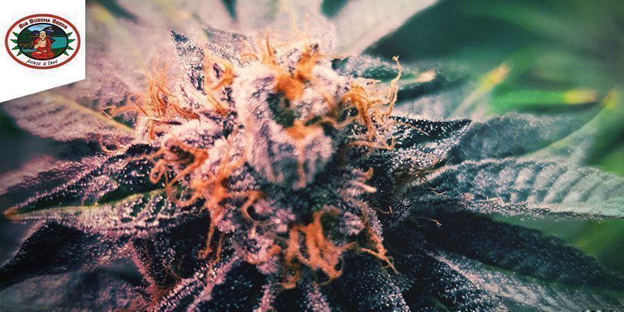 Freeze Cheese ´89 (Big Buddha Seeds)