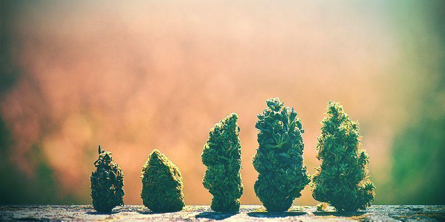 Cómo Escoger La Variedad De Cannabis Adecuada Holanda