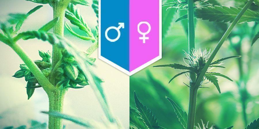 Sexo Del Cannabis