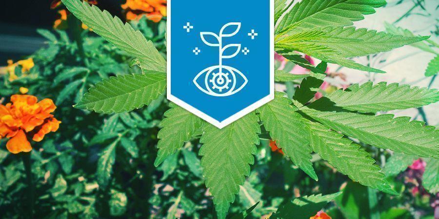 Cannabis Como Cultivo Asociado