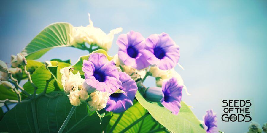 Hawaiian Baby Woodrose