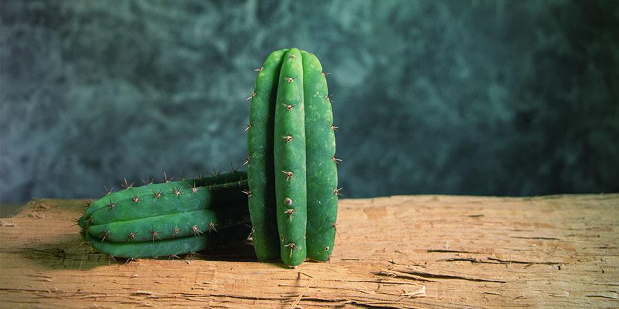 Trichocereus Cactus