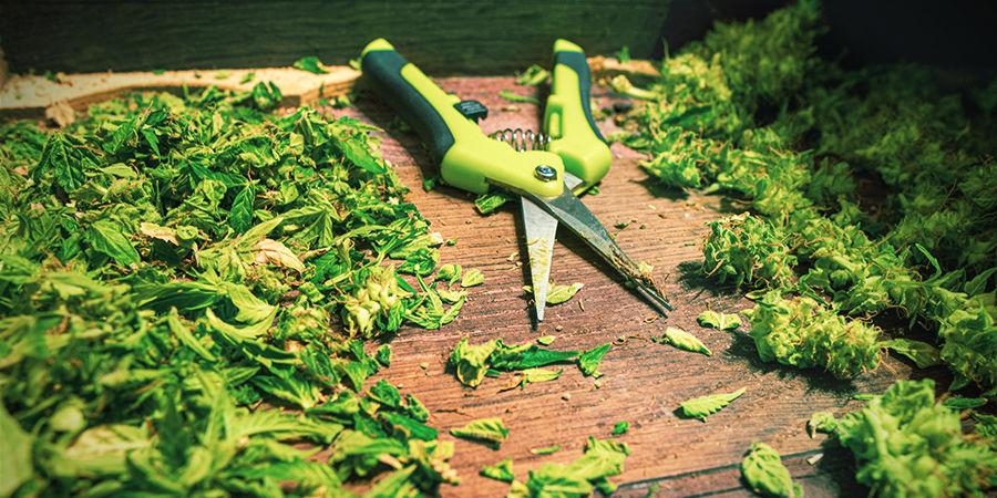 Consejos Para Usar Las Tijeras De Manicurar Cannabis: Raspa Los Restos De Resina