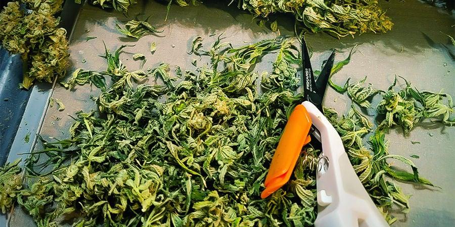 Por Qué Es Importante Limpiar Y Mantener Las Tijeras De Manicurar Cannabis