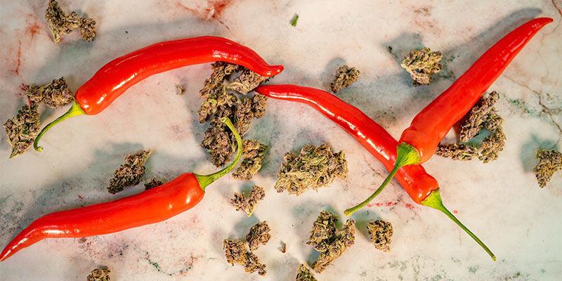 ¿Tienen Algo en Común las Plantas de Marihuana y la Guindilla?