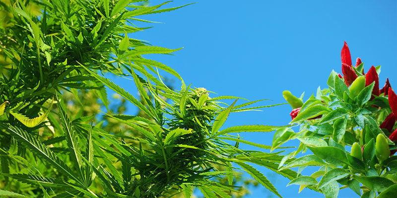 ¿Cuáles Son los Beneficios de la Guindilla Como Planta Asociada?