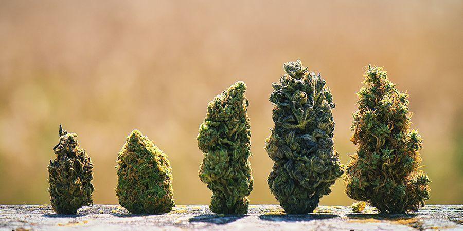 ¿Por Qué Los Cogollos De Marihuana Tienen Colores Diferentes?