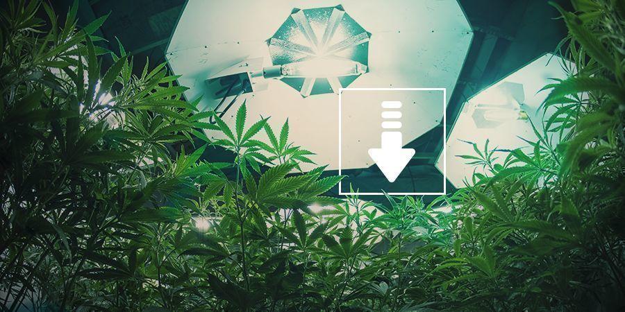 Cannabis: Menos Horas De Luz Por Día