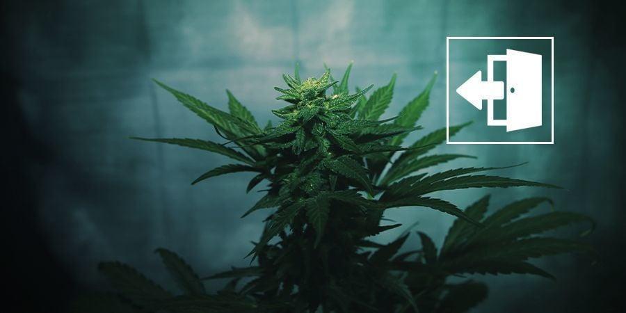 Fuerza La Floración Del Cannabis En Exterior