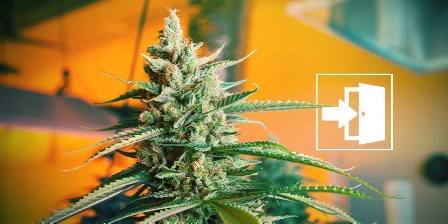 Coltivare La Cannabis Indoor
