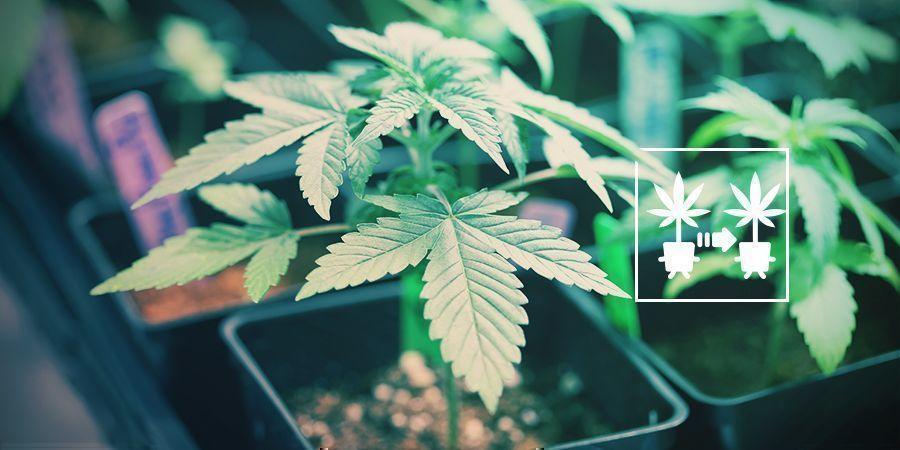 Usa Esquejes De Plantas De Marihuana