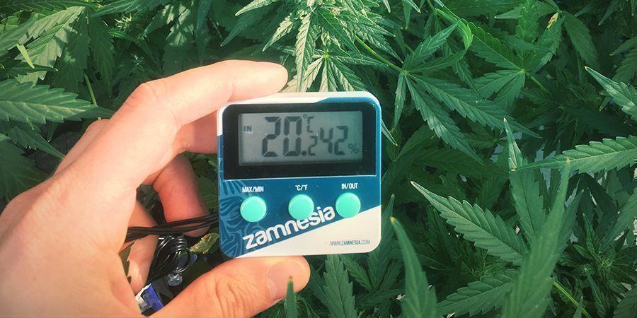 Evitar El Estiramiento De Las Plantas De Marihuana: Mantén Una Temperatura Adecuada