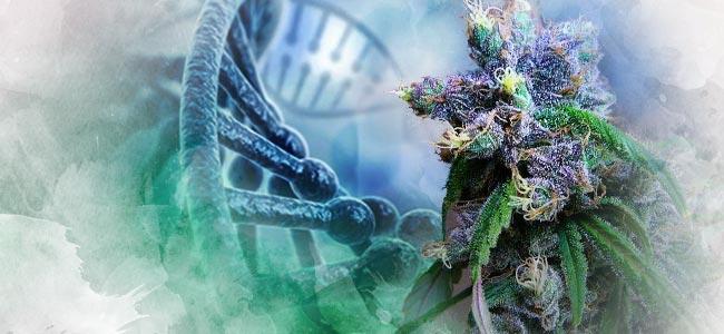 Cannabis Genética