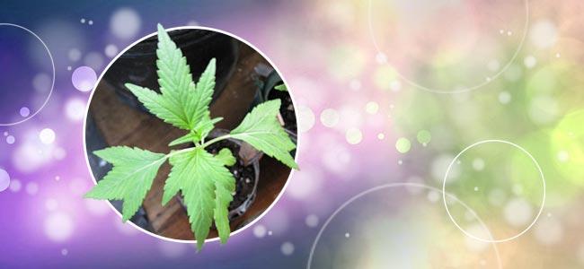 Cannabis Duckfoot O Pie De Pato