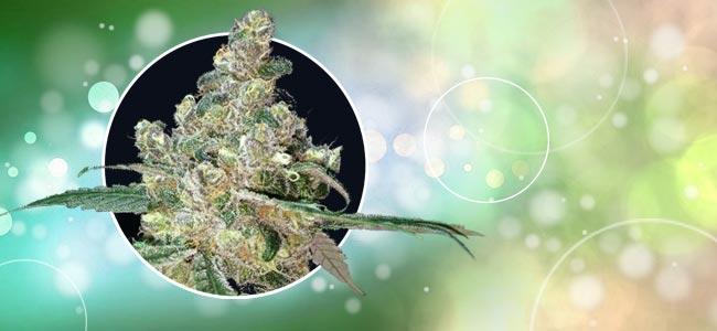 Cola De Zorro Cannabis