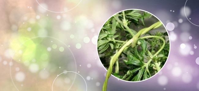 Cannabis Enredadera
