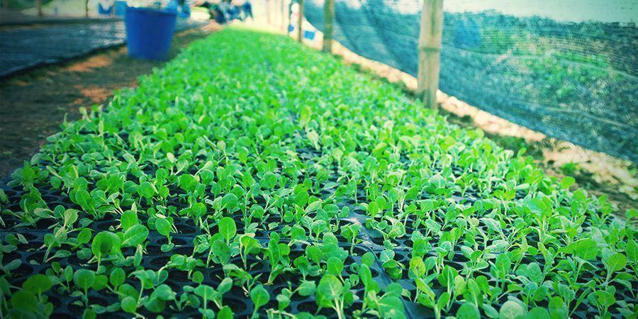 Aprende Los Pasos Para Cultivar Tabaco En Casa