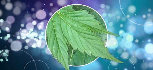 Plantas De Cannabis Con Formas Diferentes
