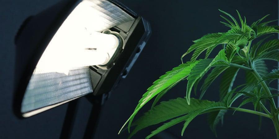 Problemas Durante La Floración Del Cannabis: Sistema De Iluminación Inadecuado