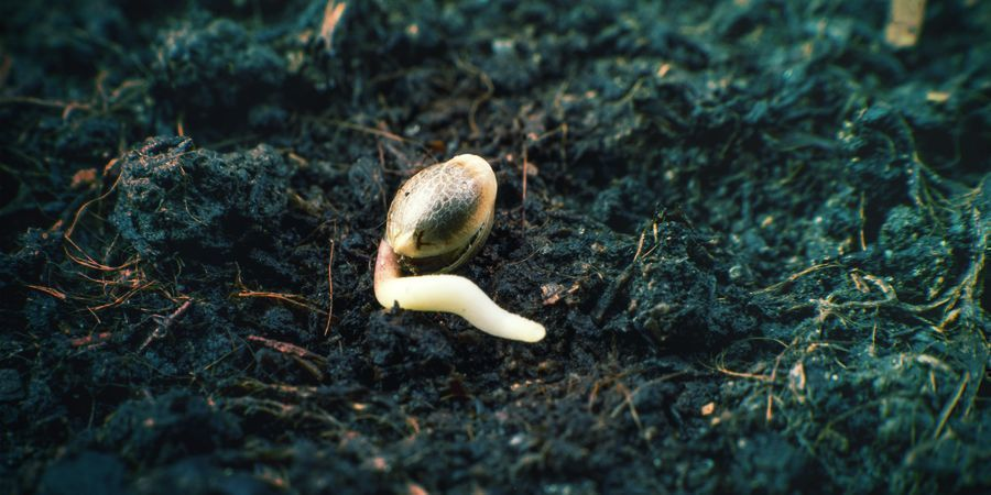 Germinating Stage Cannabis Seeds