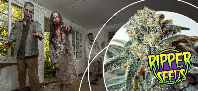 Zombie Kush Ripper Seeds
