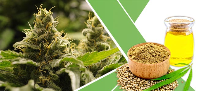 Hierbas Perder Peso: Cannabis