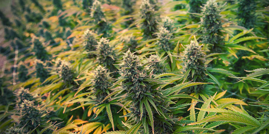 4 Técnicas De Poda De Cannabis Para Aumentar Tus Cosechas