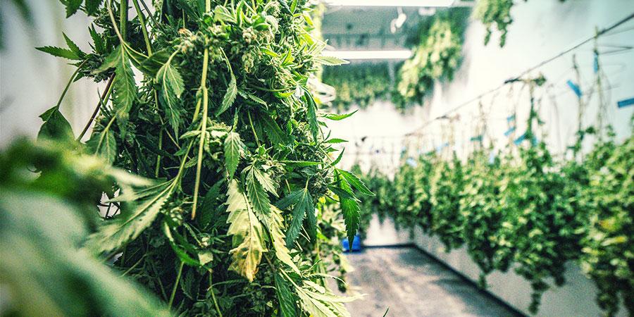 ¿Qué Es La Manicura En Seco marihuana?