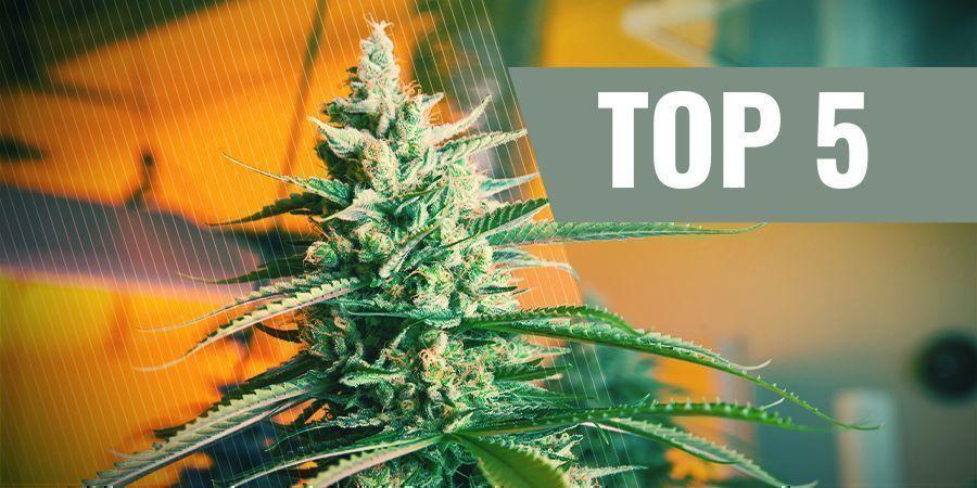 Las 5 Mejores Semillas De Cannabis Autoflorecientes Para El Cultivo De Interior
