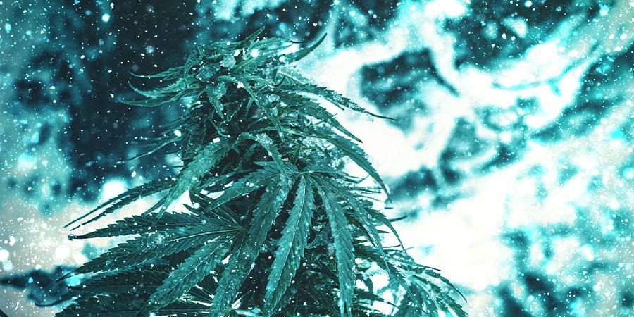 Variedades Navideñas De Cannabis