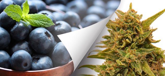Blueberry OG Barney's Farm