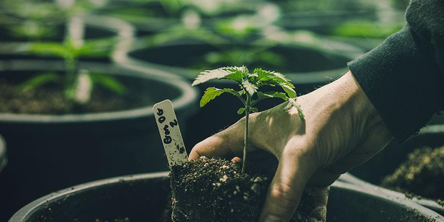 Las Cuatro Técnicas ROLS - Cannabis