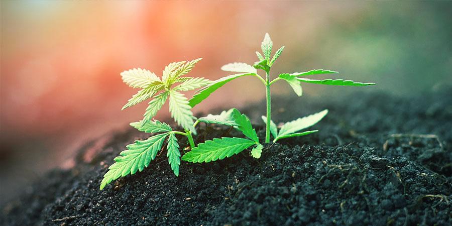 Sustrato Vivo Orgánico Reciclado (ROLS) - Cannabis